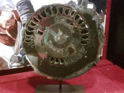 Blog 10 ammonite