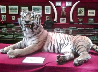 Blog 15 Tiger
